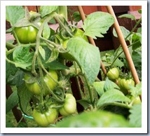 Green tomatoes_2